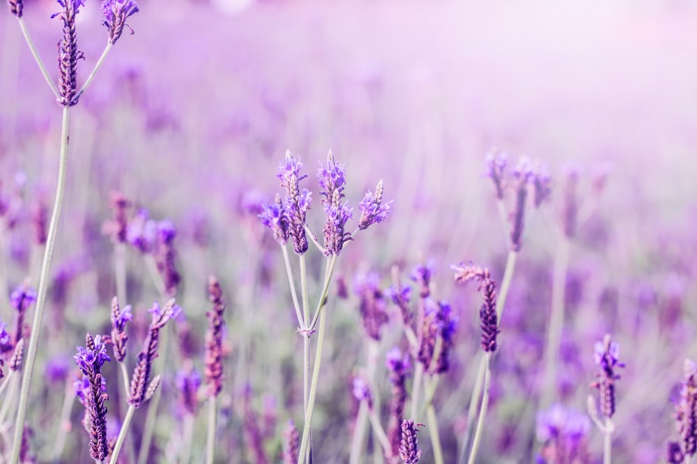 Botanical Treatment for Headache and Migraines with Lavender